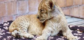 Две лъвчета - най-новите обитатели на варненския зоопарк (СНИМКИ)