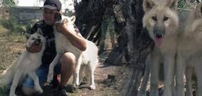 Семейство отглежда бебета полярни вълци (ВИДЕО)