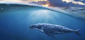 Спасяват стотици китове в Австралия