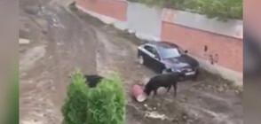 """Безпризорни бикове гонят хора и чупят коли в кв. """"Лозенец"""" (ВИДЕО)"""