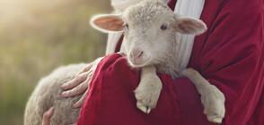 Агне с пет крака и шест копита се роди в Австралия (ВИДЕО)