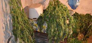 Шестима с обвинения за разпространение на близо 80 кг марихуана