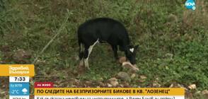 Безпризорни бикове в софийски квартал се оказаха неуловими за институциите
