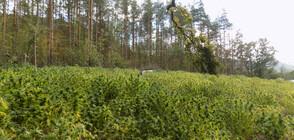Откриха плантация с марихуана във Варненско (ВИДЕО+СНИМКИ)