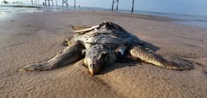 Откриха рядка бяла морска костенурка на плаж в Южна Каролина (СНИМКИ)