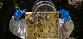В ИМЕТО НА РЕКОРДА: Мъж се покри с хиляди пчели (СНИМКА)