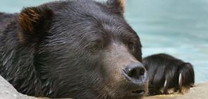 Защо мечките у нас са намалели наполовина и как да станем техни закрилници?