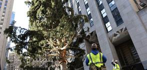 В КАПАН: Спасиха кукумявка от коледно дърво в Ню Йорк (ВИДЕО)