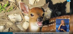 Петнисто еленче - най-новото попълнение в зоопарка в София (ВИДЕО)