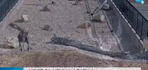 Мост за диви животни се оказа голям хит в САЩ (ВИДЕО)
