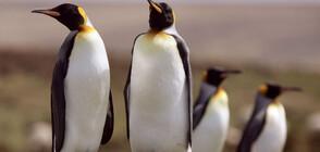 Пингвини в лондонски аквариум гледат коледни филми (СНИМКИ+ВИДЕО)