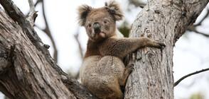 Ваксинират коалите в Австралия