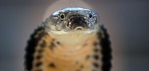 Будистки монах предлага убежище на застрашени змии (СНИМКИ+ВИДЕО)