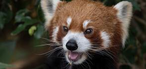 Зоопарк представи пред публика редки червени панди (ВИДЕО+СНИМКИ)