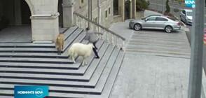 Овца, коза и три агнета гониха общинари в Турция (ВИДЕО)