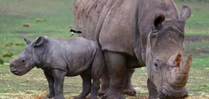 Учени създадоха ембриони в опит да спасят от изчезване бял носорог (СНИМКА+ВИДЕО)