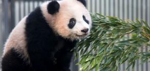 Бебе панда с виртуален дебют във Вашингтон (ВИДЕО)
