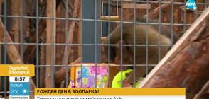 РОЖДЕН ДЕН В ЗООПАРКА: Торта и подаръци за маймуната Алф (ВИДЕО)