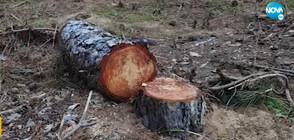 Недоволство заради сеч на дървета край Черноморец