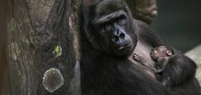 МАЙМУНСКИ РАБОТИ: След 16 г. в Берлинския зоопарк отново се роди горила