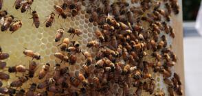 Проверяват състоянието на пчелните семейства у нас