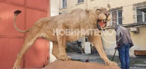 Откриха препариран лъв в частен имот (СНИМКИ+ВИДЕО)