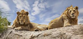 Два млади лъва изядоха съгледвач, застреляха ги