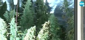 Разкриха модерна наркооранжерия в къща в Шипка (ВИДЕО)
