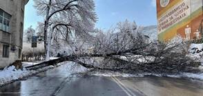 Голямо дърво падна в центъра на Шумен (СНИМКИ)