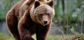 12 нападения от мечки в област Смолян през април