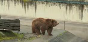 Мечката гризли от зоопарка в София се събуди от зимен сън (ВИДЕО)
