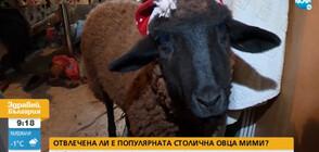 Открадната ли е популярната овца Мими?
