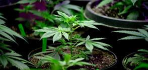 Черногорската полиция залови 260 кг марихуана