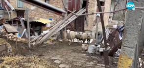Семейство се оплака от овце в двора на съсед, плъзнали кърлежи и бълхи (ВИДЕО)