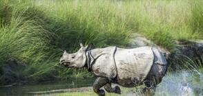 Възстановява се популацията на носорози в Непал
