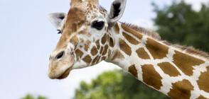 Девет жирафа бяха спасени от потъващ остров в Кения