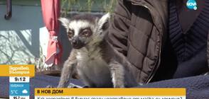 Зоопаркът в Бургас спаси изоставено от майка си лемурче