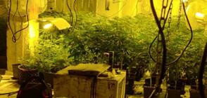 Разкриха наркооранжерия в сградата на бившия стъкларски завод в Перник (СНИМКИ)