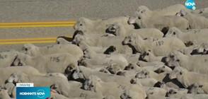 Хиляди овцe минаха през магистрала в Айдахо (ВИДЕО)