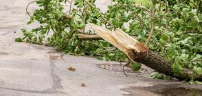 Дърво падна върху маси на заведение в центъра на София (СНИМКИ+ВИДЕО)