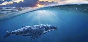 Откриха 16 килограма пластмаси в стомаха на кит, изхвърлен на френски бряг
