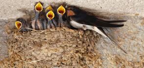 Деца рушат лястовичи гнезда посред нощ