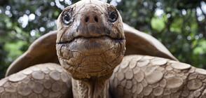 Гигантска костенурка ще обитава зоопарка в Бургас (ВИДЕО)