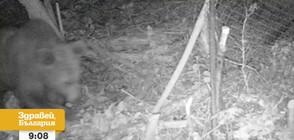 """Пълен абсурд"": Мечка тормози пернишко село, унищожи кошерите им"