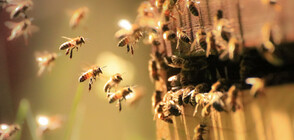 Могат ли пчелите да си комуникират и да взимат групови решения