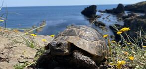 Как да помогнем на костенурка в беда? (ВИДЕО)