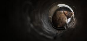 Die Welt: Плъхове превзеха квартал в Кьолн