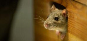 Евакуират австралийски затвор заради нашествие на мишки (СНИМКИ)