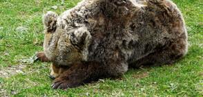 Има разрешение за отстрел на мечката, която нападна жена край Белица