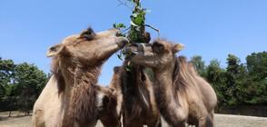 Четири двугърби камили пристигнаха в столичния зоопарк (ВИДЕО+СНИМКИ)